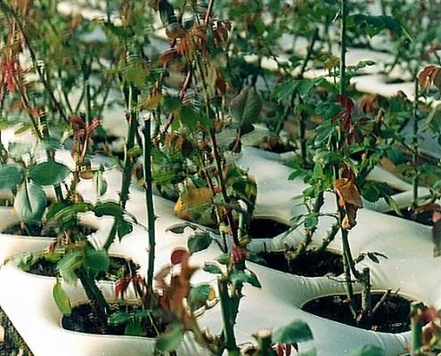 Megmetszett rózsa hőpaplanban