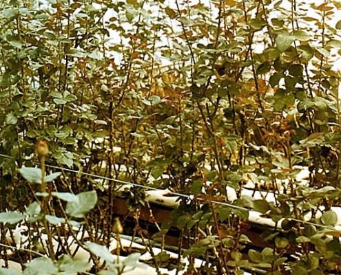 A rózsa hőigényes növény